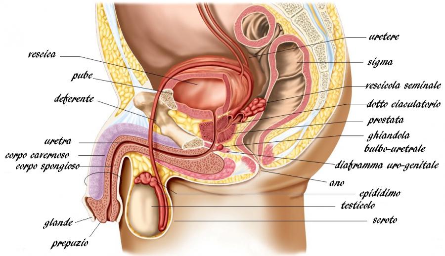 Infertilità maschile: cos'è, sintomi e cause - Aparato genitale maschile